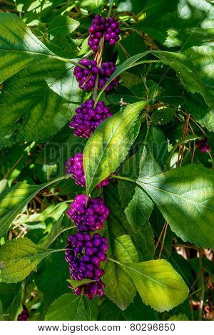 A String of Beautiful Bright Purple Berries