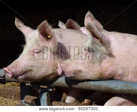 Two pigs leaning on a gate
