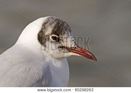 Black-headed Gull Portrait