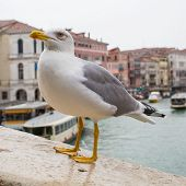 pic of albatross  - Curious Albatross staring and waiting for food at Rialto Bridge Venice Italy - JPG
