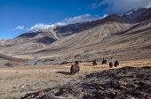 stock photo of yaks  - Herd of yaks in scenic Pamir mountains in Tajikistan - JPG