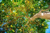 stock photo of orange-tree  - Oranges on the Tree - JPG