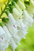 foto of digitalis  - Close-up white flowers of foxglove - Digitalis purpurea. Popular garden plant. Selective focus.