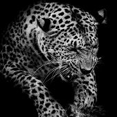stock photo of sundarbans  - Leopard portrait animal wildlife black background closeup - JPG