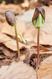 stock photo of beechnut  - close up germinated beechnuts in beech leaves - JPG