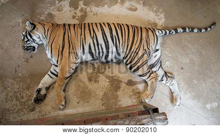 Tiger Sick