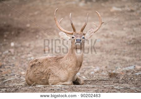 Male Eld Deer