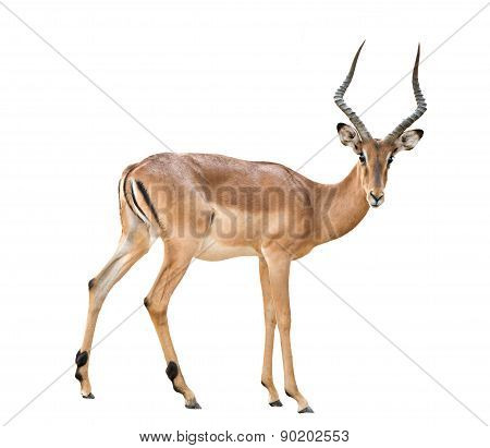 Male Impala Isolated