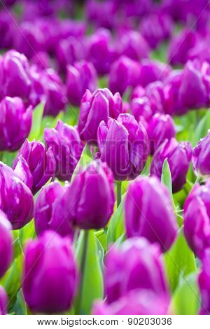 The Blooming Purple Tulips