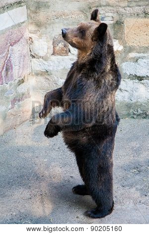 Brown Bear In A Chinese Zoo