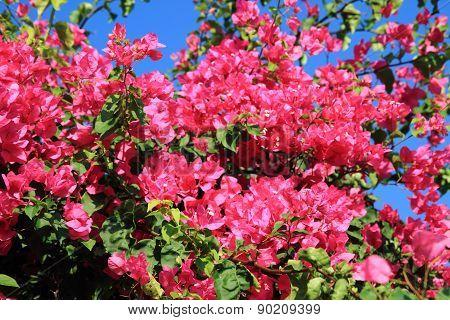 Bouganvillea Flower