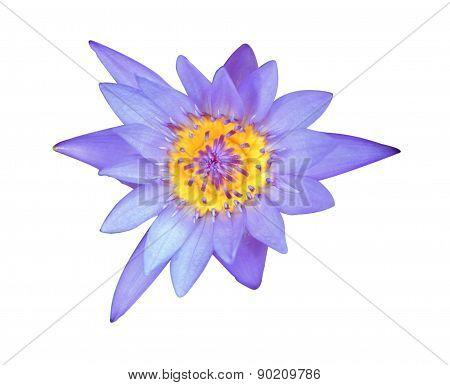 Beautiful blue lotus on white background