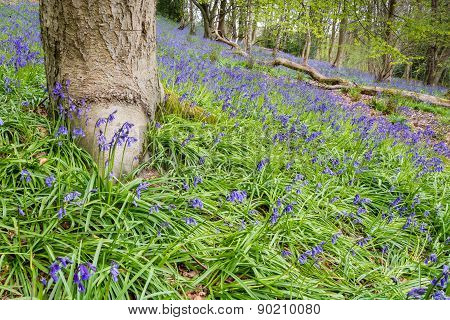 Carpet Of Bluebells