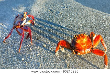 Sally Light-foot Crabs