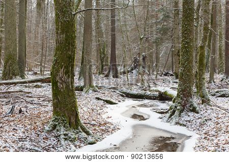 Old Natural Stand Of Bialowieza Forest By Stream