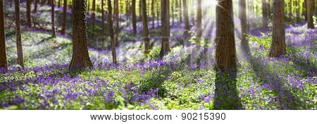 bluebell spring wildflowers in Haller bos, Belgium. hyacinthoides non-scripta
