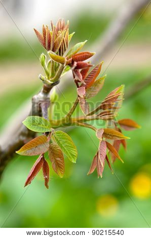 Leaves Of Walnut