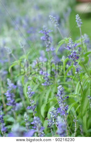 Purple Salvia Flowers At The Nature