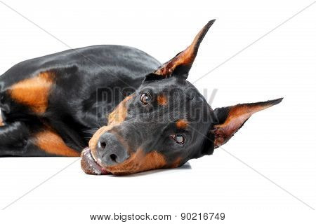 Dobermann pinscher lying on isolated background