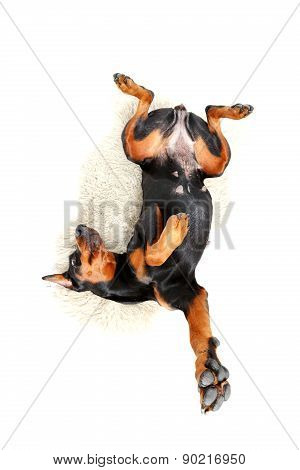 Lying dog with bended body