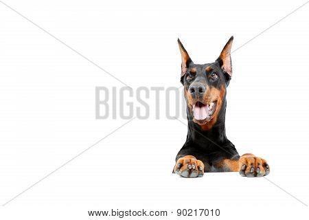Dobermann pinscher emerging from behind