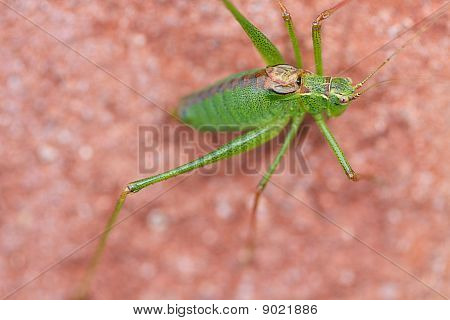 Grashopper Closeup