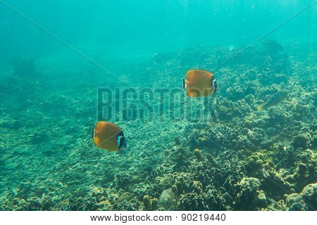 Couple of butterfly fishes