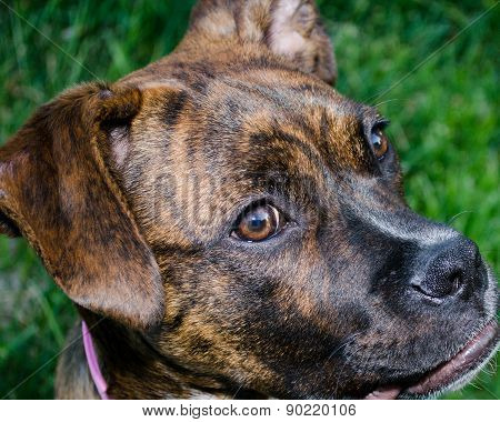 Brindle Boxer Dog Puppy