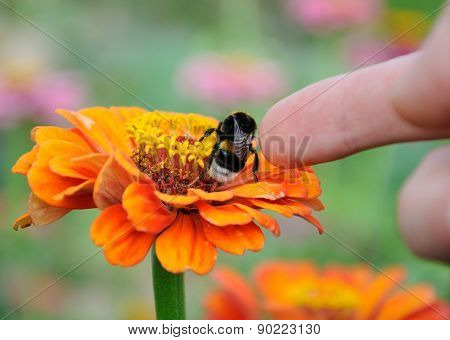 Bumblebee On The Flower Of Zinnia