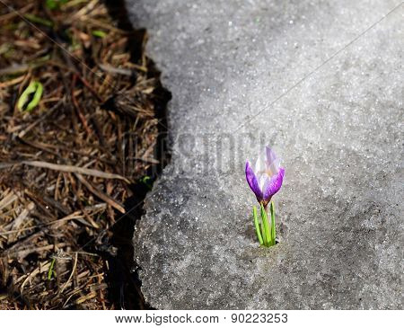 Early Crocus Risen From Winter Ice