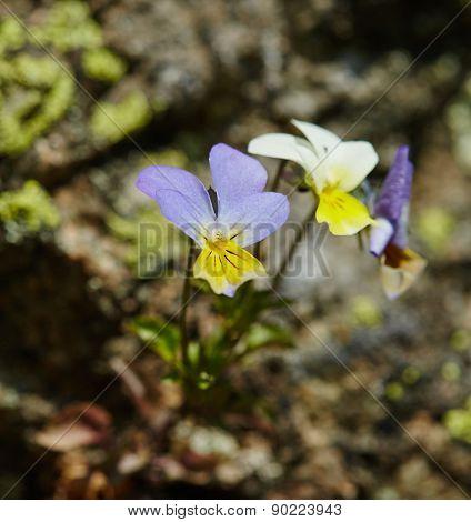 Viola Tricolor Flower Closeup