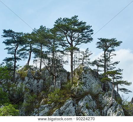 Pinus Nigra On Mountains Peak