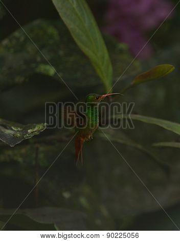 Rufous-tailed Coronet hummingbird