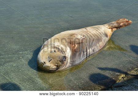 Sleeping seal  in ZOO in Warsaw