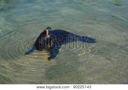 Yawning black seal