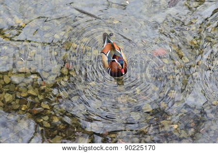 Mandarin duck swiming in the pond