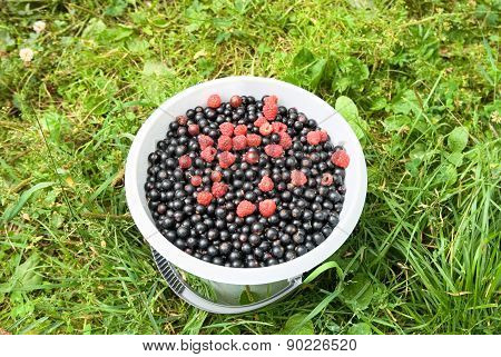 Black currants and raspberries in the bucket