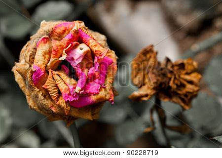 Two Wilted Flower dry and dead for background