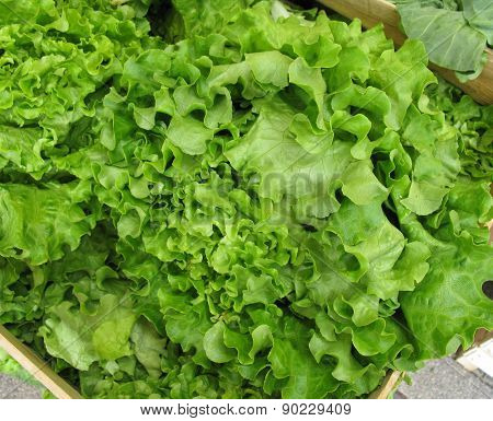 Fresh green lettuce for a salad