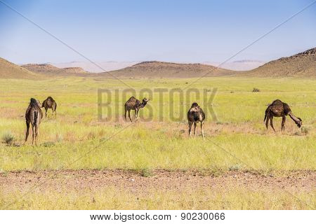 Camels grazing, Morocco