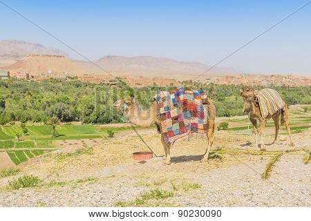 Camels waiting for tourists in Tinerhir, Morocco