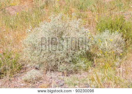 Thorny desert plant in Morocco