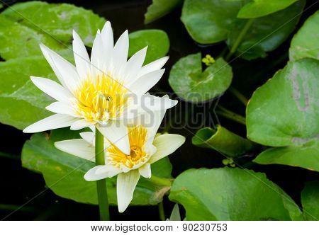 White Blossom Lotus Flower; Focused On Flower