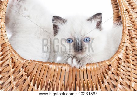 Ragdoll Kitten In Bell Basket