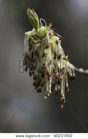 Box Elder Acer Negundo Flowers