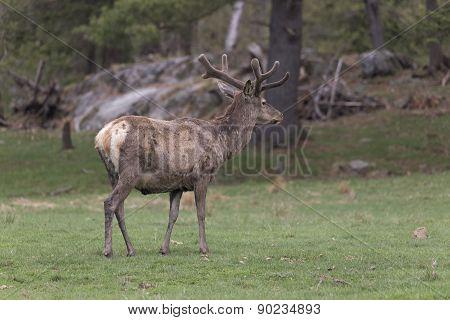 Lone Male Deer