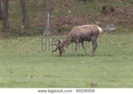 A lone male deer