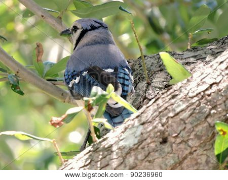Contemplative Blue Jay