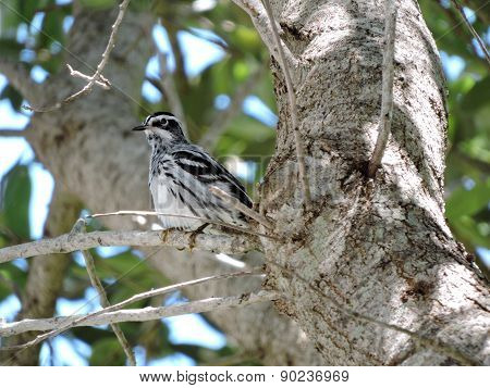 Perching Black and White Warbler