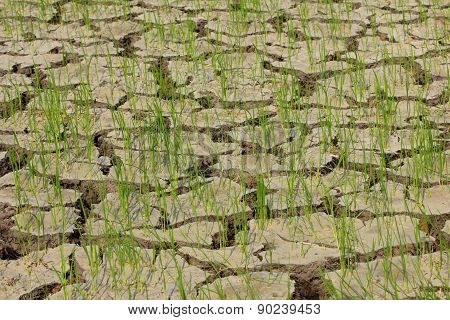 Cracked of rice field